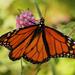 Monday Monarch by cjwhite