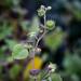 Velvetleaf ... by lindasees