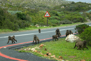 31st Aug 2015 - 2015 08 31 A Troop of Baboons