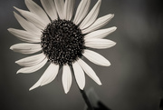 31st Aug 2015 - Sunflower Season
