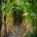 Corn Rows by rosiekerr