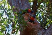 1st Sep 2015 - 'Mumma' AND 'Poppa' guarding the nest...