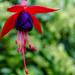 Climbing Fuchsia by tonygig