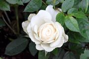 2nd Sep 2015 - Miniature Rose