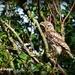 Tawny owl by rosiekind