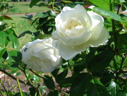 4th Sep 2015 - The Roses