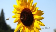 29th Aug 2015 - sunflower