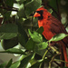Cardinal In the Orange Tree by rickster549