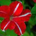 Bi-color Petunia by dsp2