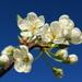 Blossom and blue sky  by kiwinanna