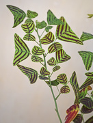 4th Sep 2015 - Butterfly Leaf plant