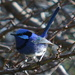 Blue Wren DSC_9304 by merrelyn