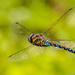 6th September 2015     - Dragonfly by pamknowler