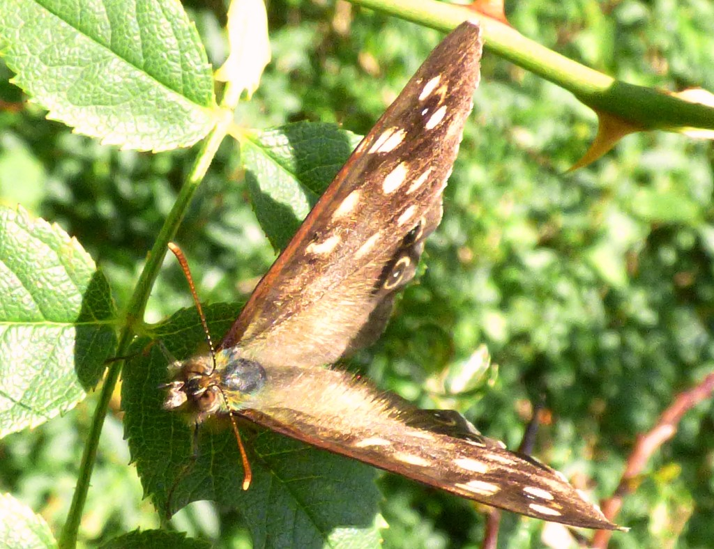 Speckled Wood 2 by julienne1