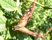 6th Sep 2015 - Speckled Wood 2