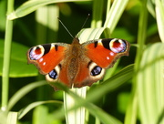 1st Sep 2015 - Peacock Butterfly