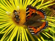 7th Sep 2015 - Common Drone Fly and Tortoiseshell Butterfly