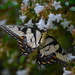 Tiger Swallowtail by congaree