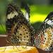 Butterflies by bizziebeeme