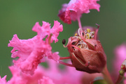21st Aug 2015 - Crape myrtle busting out