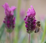 9th Sep 2015 - Bee lavender