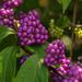 Purple berries revisited by loweygrace