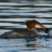 I thought mergansers eat fish.... by mjalkotzy