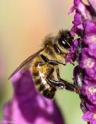 10th Sep 2015 - Bee watching me watching bee