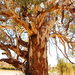 Yulkuparlu - River Red Gum by terryliv