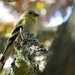 Could this be a Goldfinch? by seattlite