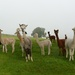 Alpaca's  by shirleybankfarm