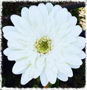 12th Sep 2015 - White Gerbera...