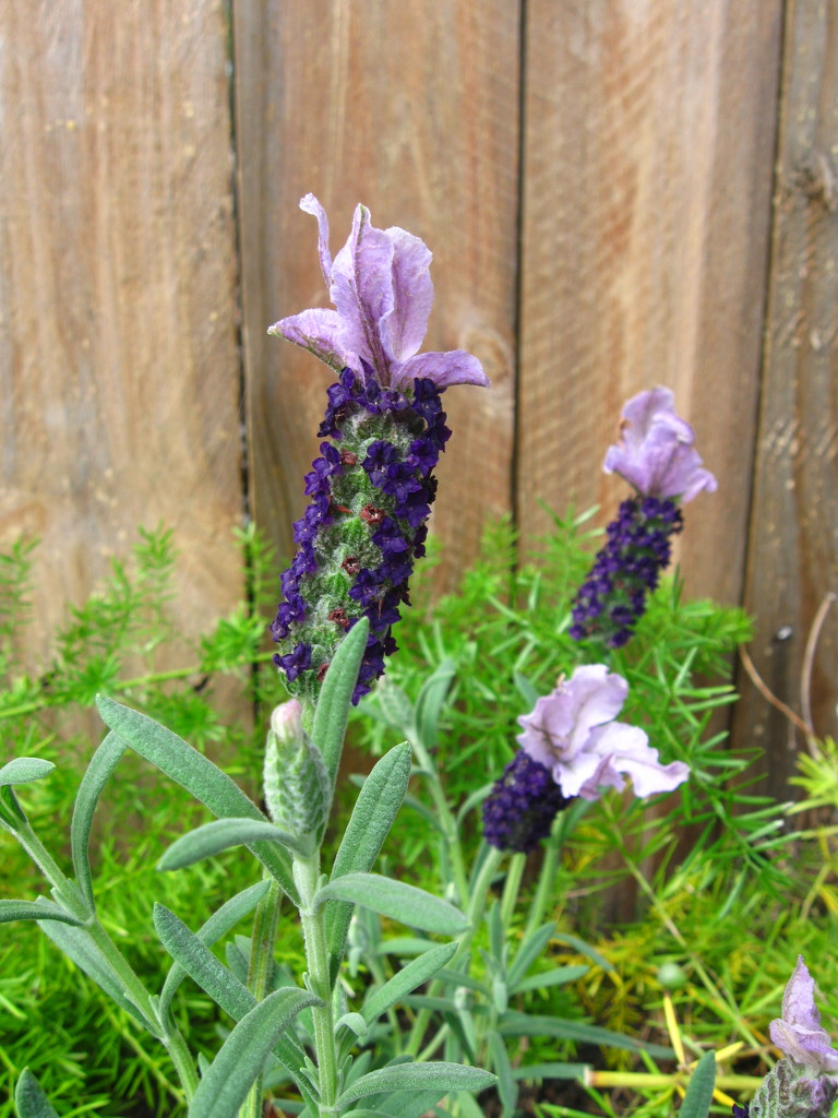 Sweet Lavender  by mozette
