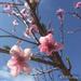 Cherry Blossom by alia_801