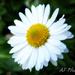 Daisy, Daisy by alia_801