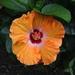 Hibiscus, Magnolia Gardens, Charleston, SC by congaree