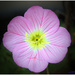 Flower - Morning Surprise by flygirl