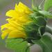 Unfurling Petals by seattlite