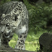 Snow Leopard by leonbuys83
