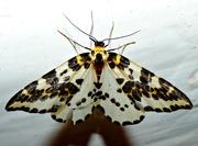 16th Sep 2015 - Magpie Moth (Abraxas grossulariata)