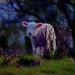 Wee Lambie by maggiemae