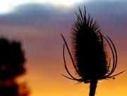 18th Sep 2015 - Teasel against the sunset