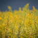 Goldenrod Field by mhei