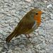 A Friendly Robin by snoopybooboo