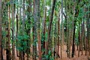 11th Sep 2015 - Colombian Guadua Bamboo