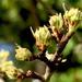 Pear tree in bud by kiwinanna