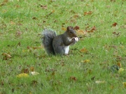 21st Sep 2015 -  Grey Squirrel with Horse Chestnut