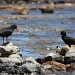 Oystercatchers by eleanor
