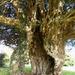 Yew Tree by flowerfairyann