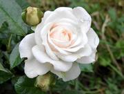 21st Sep 2015 - White Rose